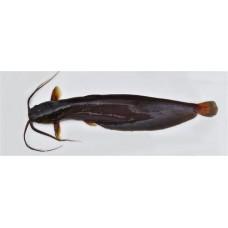 Shing Fish