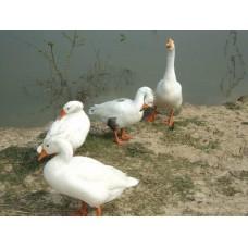 Swan (রাজ হাঁস)